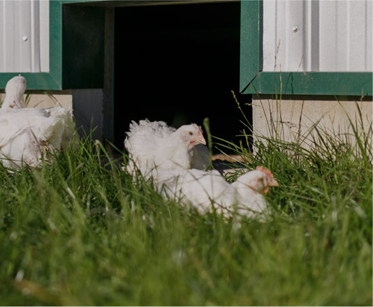 Chickens outside Thomas Reid Farms poultry house.