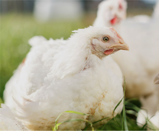 A close-up of a chicken.